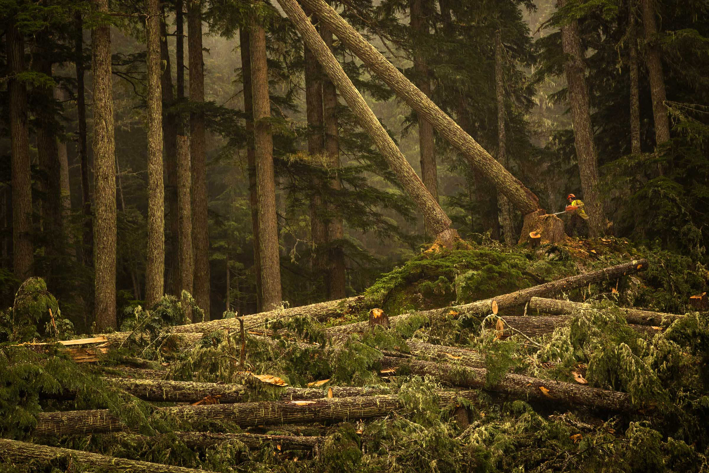 Logger cutting down trees
