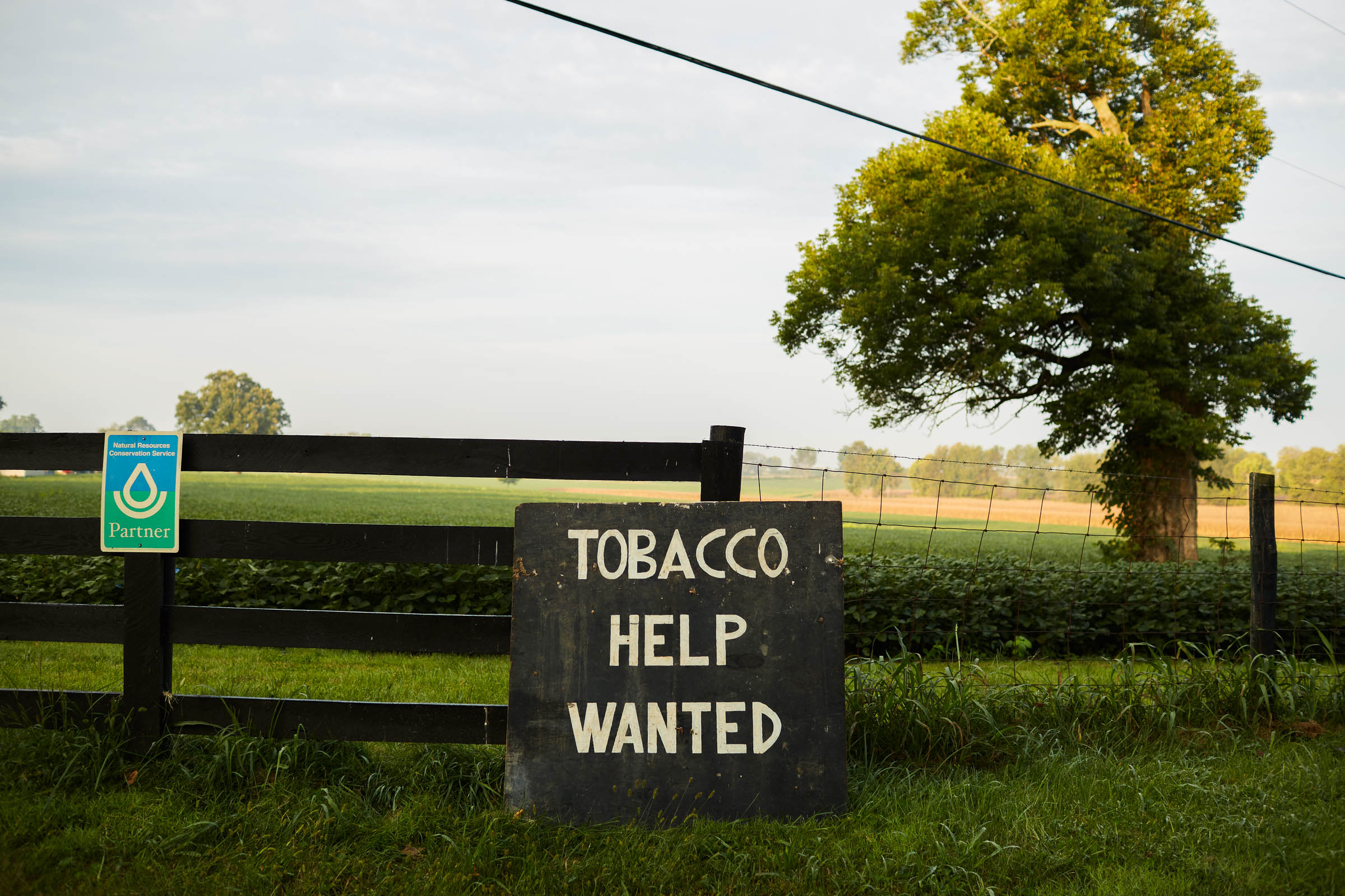 tobacco-harvest_010