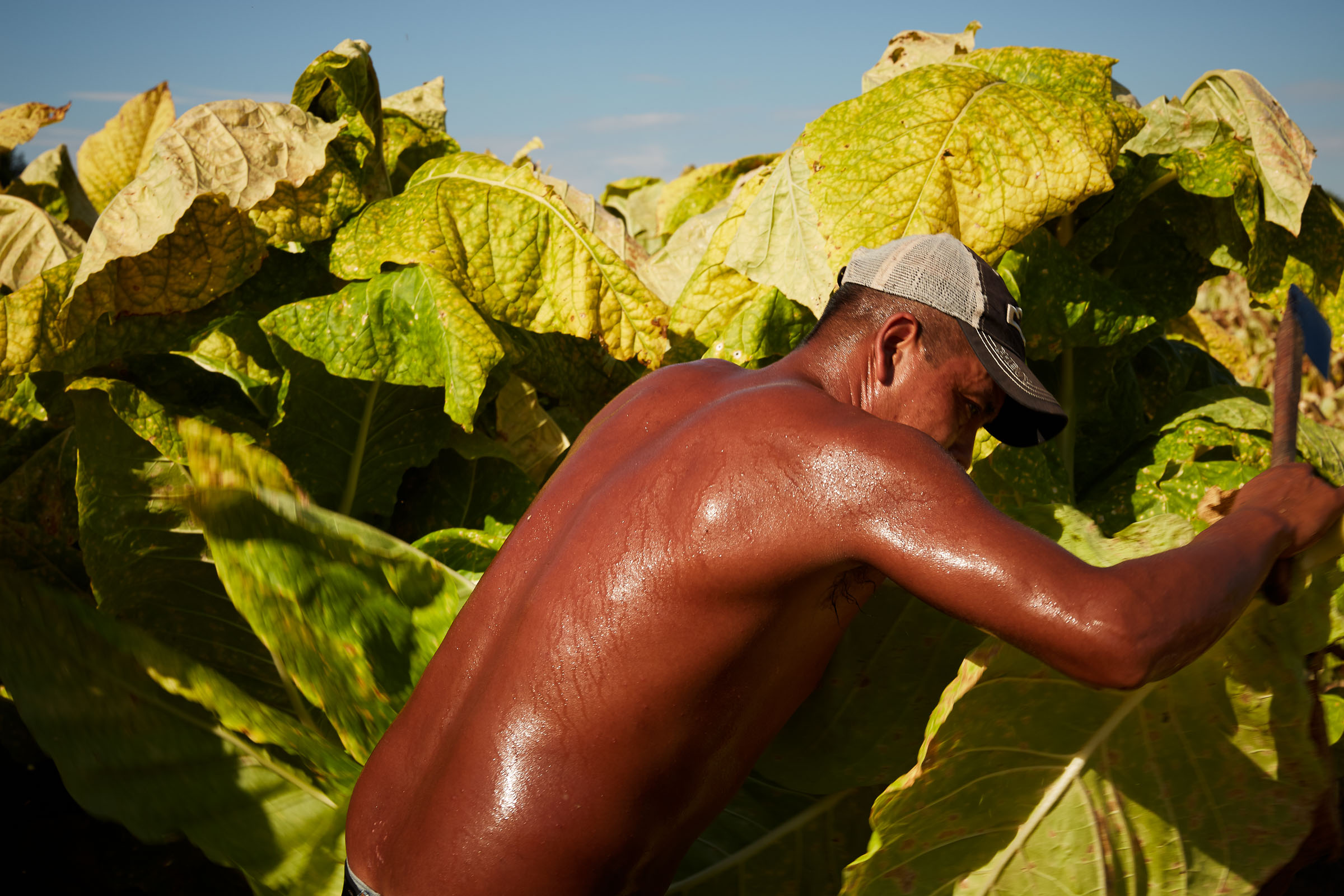 tobacco-harvest_012
