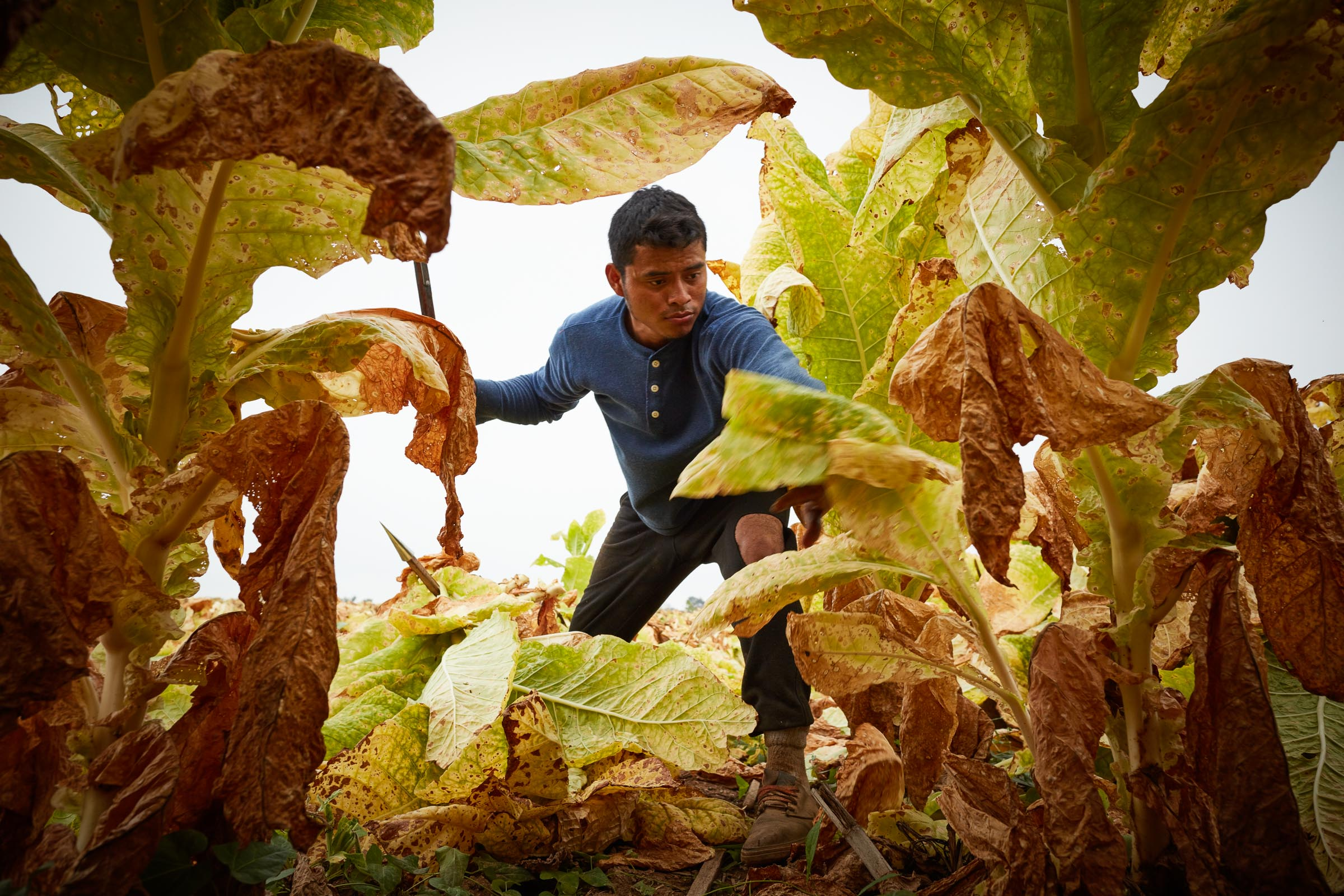 tobacco-harvest_013