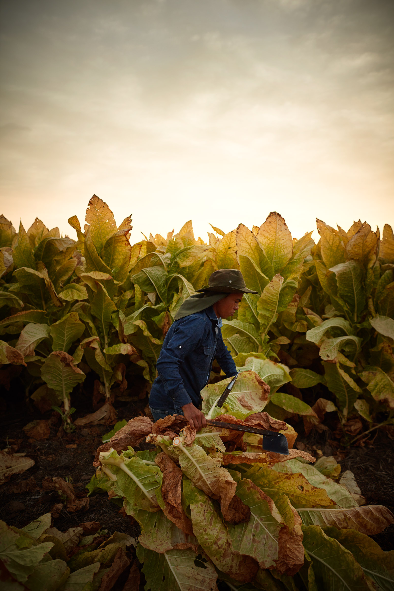 tobacco-harvest_018