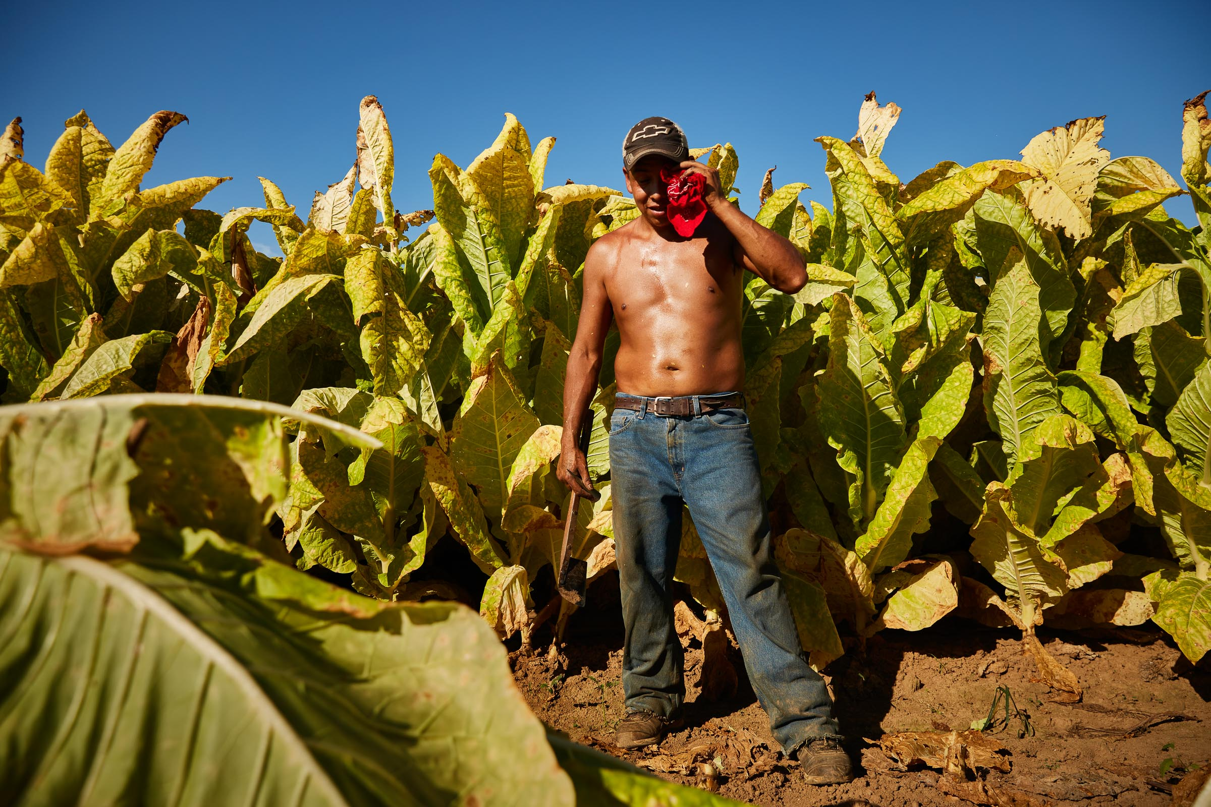 tobacco-harvest_027