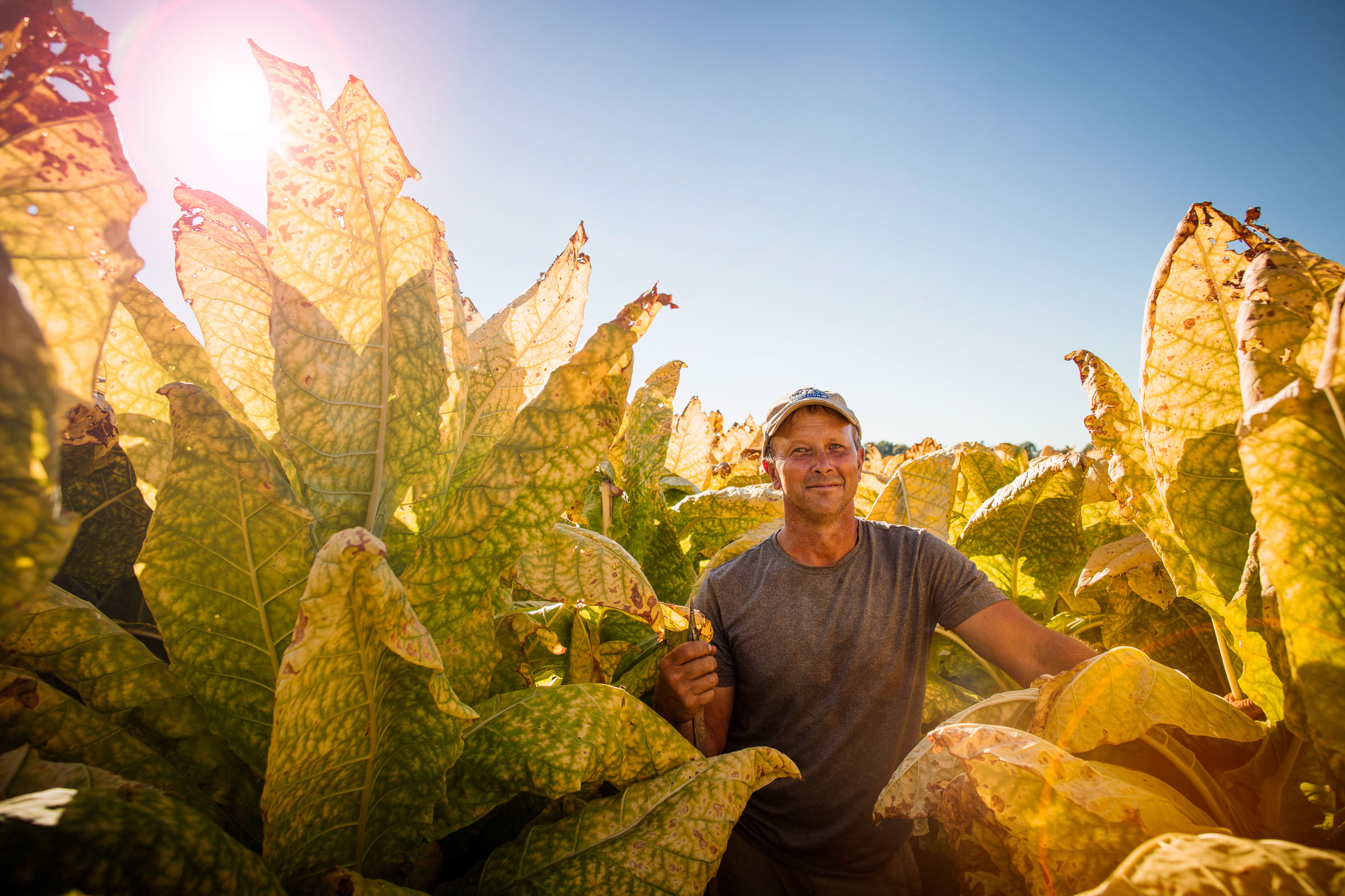 tobacco-harvest_07